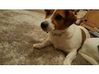 Jack russell oscar free to a good loving home