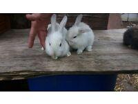 Baby Rabbits (Females).