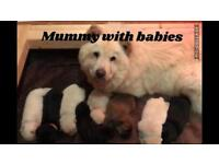 Gorgeous beautiful pure breed chow puppies £1250
