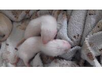 Albino kits... 1 hob, 1 jill