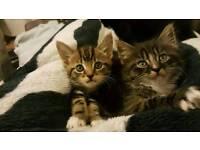 Cute kitties for sale