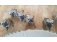 French Bulldog puppies carrying LILAC. See description as price is negotiable