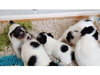 Jack cross bichion puppies black and white good markings 8 weeks old ready to go