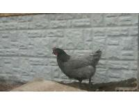 Bluebell chicken for sale