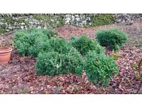 Box shrubs