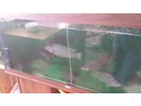 Nile tilapia (between 10cm and 40 cm) only £1 to £3 each (About 250 left)