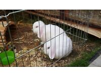 2 white blue eyes mini lops. 4 months old..