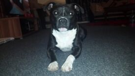 Staffordshire bull terrierx. Male 3 years. Wanting a new loving home.