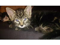 (GONE) 2 Kittens FREE to GOOD FAMILY home, Black And White , Tabby