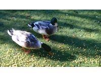Minture silver appleyard ducks