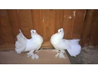 Indian fantail pigeons