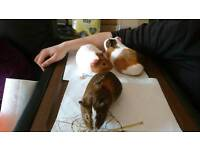 Three 6 month old female guinea pigs