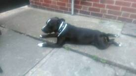 Resisted 2 year old male staffy
