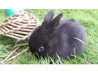 Black Baby Rabbits for Sale