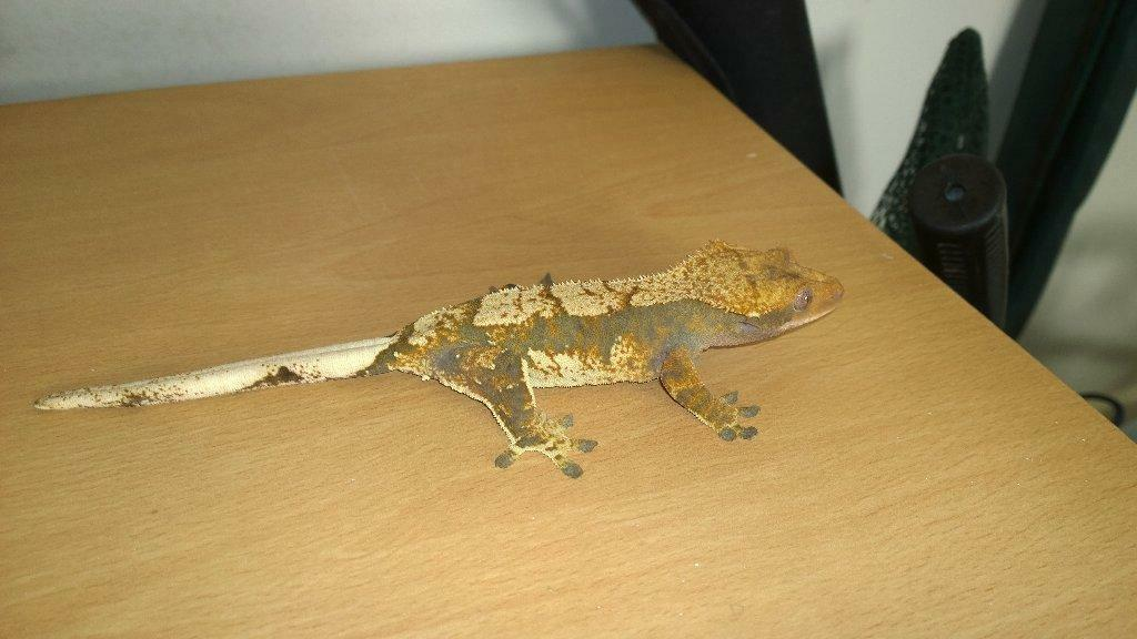 2 crested geckos and set ups | in Whitburn, West Lothian ...