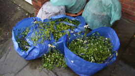 MISTLETOE - GENEROUS BUNCH - FROM £4.00 - ALL PROCEEDS TO THE HEDGEHOGS, FARNHAM'S CHARITY !