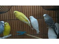 Adult Budgies for Sale