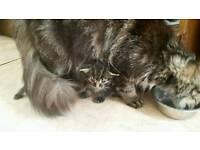 Bengal kitten is left
