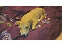 10 week old male saluki x whippet x greyhound