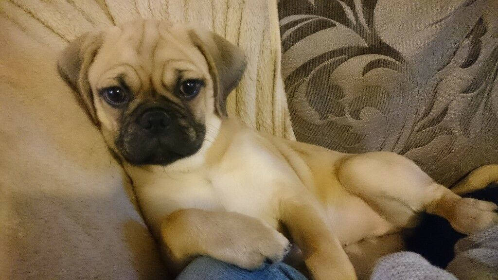 Fully vaccinated 4 month old female f2 puggle