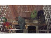 TWO PARROTS WITH CAGE / £ 140 QUICK SALE
