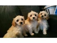 cavapoo puppies boy anx girls