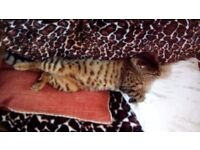 Bengal 5yrs old lost or stolen 7th August. Neutered and chipped. Langley. Dallas.