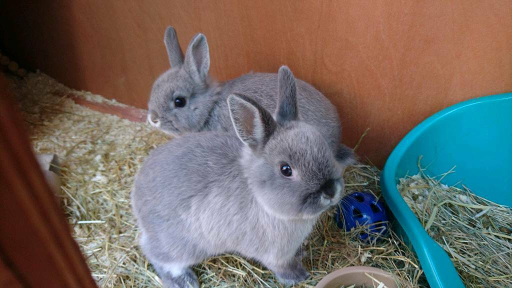 2 X Pedigree Netherland Dwarf Rabbits And Accessories In Bath
