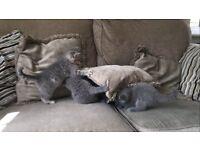 Blue/Blue Spotted British Shorthair Kittens