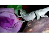 Baby ambilobe panther chameleons