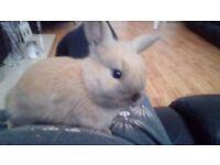 Baby x lop rabbits