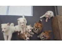 Japanese akita Pups