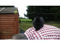 Gorgeous black netherland dwarf buck waiting for a loving home.