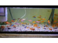 Malawi Cichlids SALE - Yellow labs/Rusties/Saulosi/Acei/Socolofi
