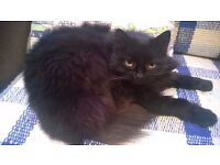 New home needed for very sweet natured semi-long haired neutered female cat