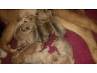 3/4 Dogue De Bordeaux puppies