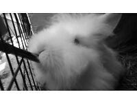 2 White lion head bunnies for sale