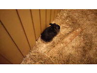 3 Lion Head Rabbits for Sale (all Female) £20 Each