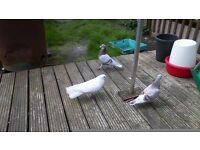 for sale two fantail