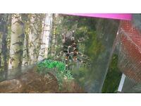 Brachypelma auratum and plastic box
