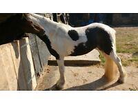 good kids pony gelding for sale