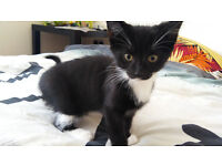 Kitten, cat for sale, good home needed