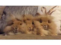Stunning Lionhead litter