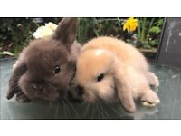 Pedigree mini lop bunnies for sale 🐰🐰🐰