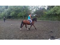 Welsh bred, 5 year old Gelding, 12.2