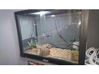 Two leopard geckos with viv, heat mat amd lamp
