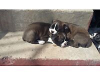 Bostons puppies ready now