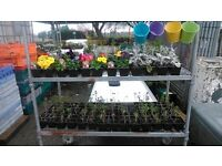 Mixed Trays of Pansies/Cineraria/Wallflower/Silver Sage/Primroses x 30 Trays