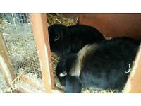 2x black dwarf lop ear rabbits for sale with large hutch and run plus more.