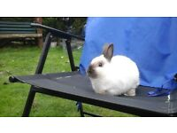 Gorgeous seal point netherland dwarf buck rabbit ready now for loving home